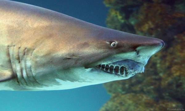 Hai im Unterwasserwelten des Meereszentrum Fehmarn